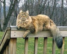 I have a Maine Coon---not this big, but she's large and so beautiful. She's dark tortoiseshell---much darker than this cat---like shades of chocolate or coffee and some cream~