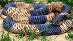 Egyptian Banded Cobra Sfondo And Sfondi