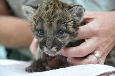 This Rescued Florida Panther Kitten Is Actually Too Cute