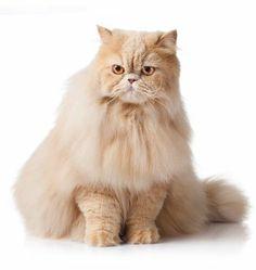 A perzsa macska mindenképpen igényli a cicafüvet, ellenkező esetben nem tudja felöklendezni a lenyelt szőrt. Ez persze nem jelenti azt, hogy mindenképpen a drága és max 2 hétig életben lévő bolti változattal kell próbálkozni. A magasra növő, egészséges és az úttól távol burjánzó fűfélék is tökéletesek lehetnek. Egy kicsit kísérletezni kell, hogy mit kedvel a cica, de biztosan találunk megfelelőt.