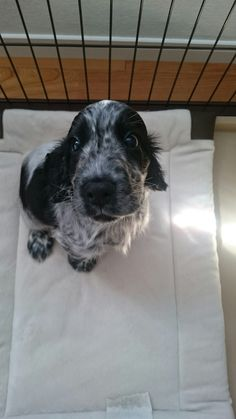 Fluffy Animals, Animals And Pets, Cocker Bebe, Really Cute Dogs, Cockerspaniel, Cocker Spaniel Puppies, English Cocker, Cute Little Animals, Animals Beautiful