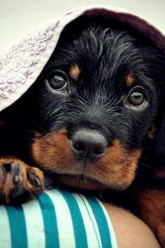 Adorable Rottweiler Puppy ❤
