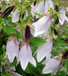 Pale lavender Campanula 'Iridescent Bells' are perfect for romantic cottage gardens.