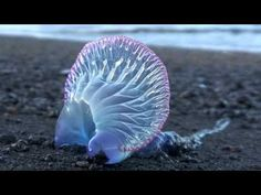WOW !  Carabela Portuguesa 2 Yes, this is a real creature of the sea