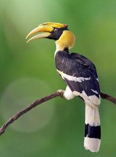 Great hornbill by kengoh8888