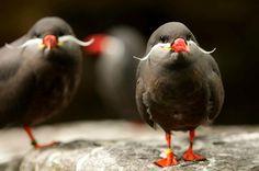 Mustached birds (Inca Tern)