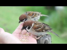 Sparrow,すずめ,スズメ,雀:手乗り [HD Movie]