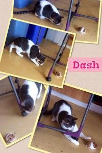 Dash cattery melbourne
