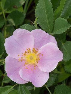 Carolina Rose AKA Pasture Rose (Rosa carolina)