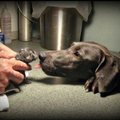 Weimaraner love! Cannot believe how adorable these little stinkers are :)
