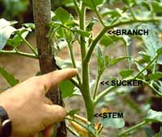 Pruning Tomato Plants: how to prune tomatoes - All  Tomato