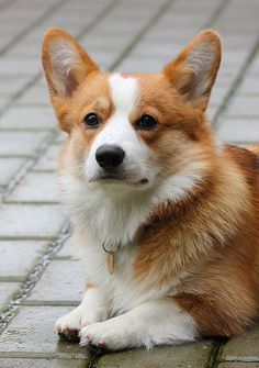 Corgi Prince Charming | Marco, a handsome Pembroke Welsh Corgi, via Flickr - Photo Sharing! © Tine Jensen tinewashere #PembrokeWelshCorgi