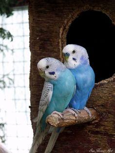 Blue Sky & Cobalt Spangle Wellensittiche - #amp #Blue #Cobalt #sky #Spangle #Wellensittiche Cute Birds, Pretty Birds, Beautiful Birds, Vogel Illustration, Exotic Birds, Budgies, Cute Funny Animals, Animal Photography, Animals And Pets
