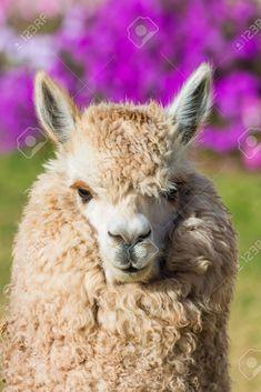 Retrato de alpaca en los Andes peruanos a Cuzco Perú Foto de archivo - 28363290 Cusco Peru, Portrait, Animals, Image, Collection, Catalog, Posters, Products, Cusco