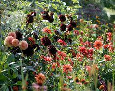 Dahlia 'Karma Choc', 'Karma Choc' Dahlia, Water Lily Dahlias, Black Dahlias, Black Dahlia, Dahlia Tubers, Dahlia Bulbs, Dahlia Flower, Dahlia Flowers, summer bulbs