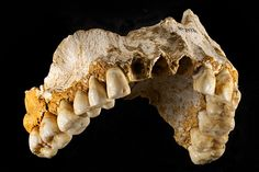 Grooves in Neanderthal teeth suggests division of labour between sexes. Neanderthal maxilla. Image: CSIC. http://www.pasthorizonspr.com/index.php/archives/02/2015/grooves-in-neanderthal-teeth-suggests-division-of-labour-between-sexes