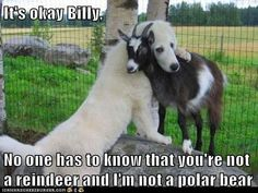 No one has to know...* I really miss my goats and my Great Pyrenees dogs that I had for over 18 years total. At one time I had 5 of them and a litter of 9 pups. I found good homes for ever single puppy before I even bred my dogs. That is how to do breeding correctly! I even had a $100 non refundable deposit on 6 pups before the breeding took place.