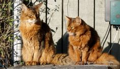 Fotografía de dos gatos Somalíes tomando el sol junto a la valla de casa. Animales domesticos. Razas de gatos (Photography of Somali cats on the fence of the house. Domestic animals. Cat breeds).