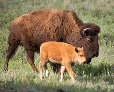 American Bison.