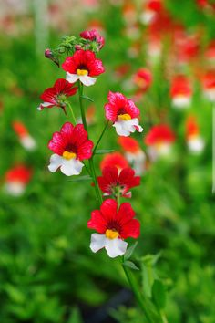 Cherry on Ice by edzerdla I think these are nemesia but I could be wrong. Shade Flowers, Types Of Flowers, Flowers Nature, Red Flowers, Beautiful Flowers, Plant Pictures, Flower Pictures, My Flower, Flower Power