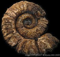 Ammonite Fossil ~ Paleontology's Gallery