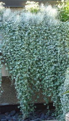 Daylilies in Australia Dichondra Silver Falls Care Free Plant Spreads Easily Australian Garden Design, Australian Native Garden, Australian Plants, Silver Falls Plant, Silver Plant, Hanging Plants Outdoor, Plants For Hanging Baskets, Hanging Gardens, Backyard Garden Design