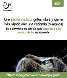 #Esponjidato: Una pupila elíptica (gatos) abre y cierra más rápido que una pupila redonda (humanos). Esto permite a los ojos del gato adaptarse a los cambios de luz rápidamente.