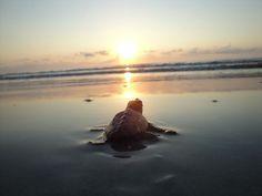 Jekyll Island Sea Turtle Rescue | share