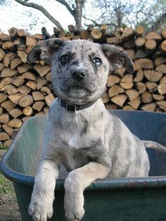 Cool Catahoula Leopard Dog Dog images - http://www.7tv.net/cool-catahoula-leopard-dog-dog-images-3/