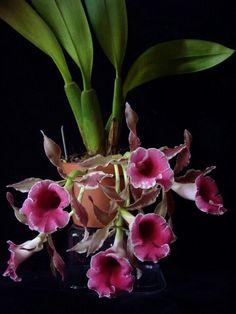 Trichopilia marginata - Found from Costa Rica, Guatemala, Panamá, Honduras to Colombia
