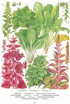 #retroscan vintage botanical print beet spinach