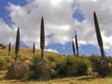 Puya titánica, una de las más raras y hermosas del mundo