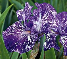 "Iris Batik - White Flower Farm Quick Facts Common Name: Border Bearded Iris Hardiness Zone: 3-7 S / 3-10 W Height: 24"" Fragrance: Yes Deer Resistant: Yes Exposure: Full Sun Blooms In: June Spacing: 15-18"" Ships as: Bareroot Read our Growing Guide"