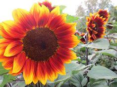 Sunflower Flowers Farm, Close Up Wallpaper, Hd Image, Picture Sunflower Garden, Sunflower Flower, Yellow Sunflower, Sunflower Tattoos, Sunflowers And Daisies, Fall Flowers, Sun Flowers, Purple Flowers Wallpaper, Sunflowers
