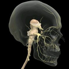 Academy of Chairside Assisting has something amazing coming Nerve Anatomy, Brain Anatomy, Medical Anatomy, Human Anatomy And Physiology, Body Anatomy, Anatomy Art, Craniosacral Therapy, Medicine Student, Cranial Nerves
