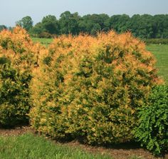 Thuja Fire Chief™ | Star® Roses and Plants