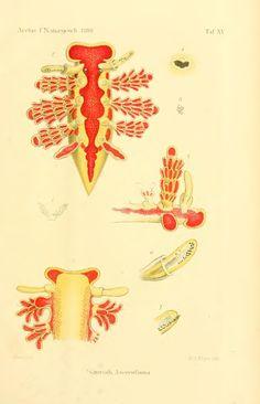 Doto floridicola from Zur Kenntniss der Azorenfauna - BioStor