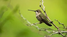Hummingbirds use hawks for home security | Fox News