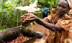 Fairtrade coffee farmer harvesting crop in Uganda. Photograph: Simon Rawles/Getty