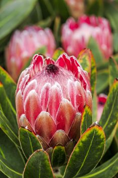 Proteas seem tricky to grow, but with this full guide, you can conquer it! The secret to growing proteas is to mimic their natural growing conditions. Protea Plant, Protea Flower, Fall Flowers, Cut Flowers, Beautiful Flowers, Australian Native Garden, Australian Native Flowers, Exotic Plants, Tropical Plants