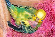 A parakeet holding her newborn baby. All Birds, Cute Birds, Pretty Birds, Little Birds, Beautiful Birds, Budgie Parakeet, Parrots, Parakeets, Hummingbirds