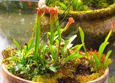 Pitcher Plant | Piedmont Gardener