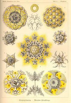 Polycyttaria via Kunstformen der Natur (1900) Illustration by Haeckel