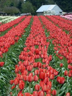 Immigrants+from+Holland+who+settled+in+the+Pacific+Northwest+brought+their+flower+know-how+and+began+planting+tulips,+recognizing+a+similar+marine+climate+and+rich+river+bottom+soil.