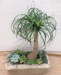 Resultado de imagem para ponytail palm curly leaves