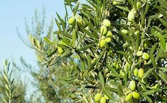 Greece is the world's third largest producer of olives, some olive trees planted in the 13th century are still producing olives.