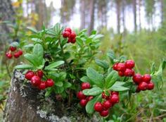 Lingonberries (Vaccinium vitis-idaea) grow everywhere! You can make delicious jam from them.