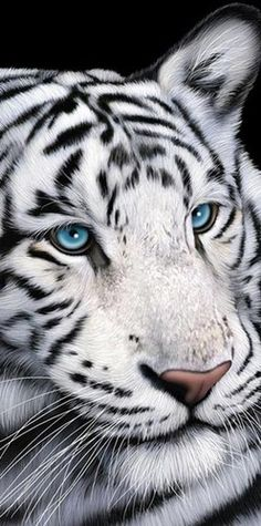 "Towel / Beach Towel - White Tiger with Blue Eyes Cotton Beach Towel 30""x60"" 1"