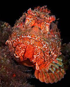 Red Scorpionfish (Scorpaena cardinalis) from the Mediterrean Sea, Menorca, Spain.by Henry Jager Underwater Creatures, Underwater Life, Life Under The Sea, Deep Sea Creatures, Deep Blue Sea, Red Sea, Beautiful Fish, Sea Monsters, Sea World