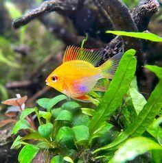 "AquaMom on Instagram: ""My little balloon girl ❤️. . . . . . . #aquarium #aquariumfish #aquariumhobby #plantedtank #plantedtanks #plantedaquarium #freshwaterfish…"""